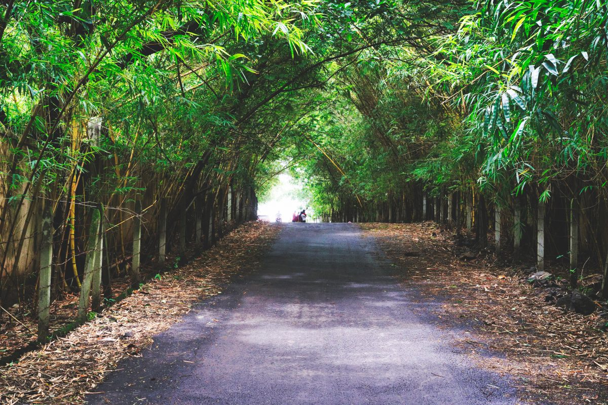 A Road Through the Bamboo Trees